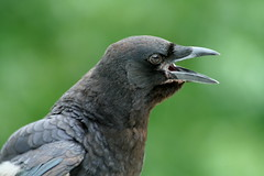 CrowIMG_8622 (novasdtr) Tags: black nature birds animal animals wings dof bokeh wildlife feathers crows avian greatnature corw specanimal birdperfect