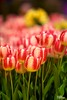 HBW - Tu-Tone-lip (∞ RedLoop ∞) Tags: pink flowers red orange green beauty yellow catchycolors hotel spring blurry tulips lasvegas bokeh nevada conservatory bellagio botanicalgardens hbw happybokehwednesday ∞redloop∞ theateamrallyingforaurelia