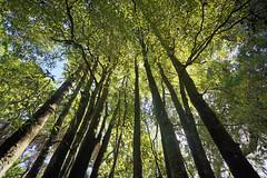 Im Waipoua Kauri Forest - Northland, Neuseeland (Renate Dodell) Tags: light tree green licht laub perspective grn northland kauri bume baum perspektive neuseeland waipoua waipouaforest 2014 baumstamm dorenawm nex7 renatedodell