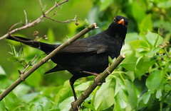 Blackbird (Edek Giejgo) Tags: