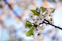 DSC_3040 (nesibamartin) Tags: flowers flower blossom bokeh m42 and 58mm manualfocus helios 44m4 bokehcreativephotography bokehandbeyond beyondbokeh