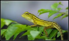 Moving on (VERODAR) Tags: nature closeup garden nikon reptile wildlife lizard nikond5000 natureskingdom verodar