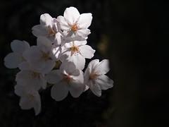 sakura -2014 (whitesilky) Tags: e1 zuiko90mmf2macro