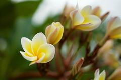 (petersaputra) Tags: flower art yellow indonesia sigma mini d750 f2 indah taman tmii 2435mm