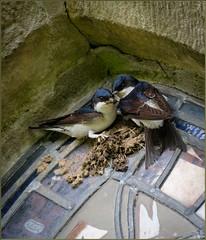 New Nest Building 3 (Hector Patrick) Tags: birds yorkshire northyorkmoors northyorkshire rosedale twop housemartins rosedaleabbey flickrelite britnatparks stmaryandstlaurence fujifilmxpro2 lightroom65 fujinonxf100400roiswr