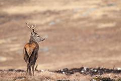 SJ7_6121 (glidergoth) Tags: red scotland deer reddeer cervuselaphus