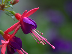 Morning rain (KsCattails) Tags: pink plant flower reflection wet rain yard nikon purple bright blossom outdoor fuchsia fuschia depthoffield droplet annual raindrop d7000 kscattails