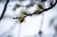 Strauchblten (fobo.at) Tags: park flowers plants spring himmel blumen lila grn fotoblog sonne strauch krokus farben frhling blten frhlingserwachen fotoblogger