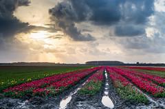 DIT voorjaar (Stoneflint) Tags: groningen lucht lente veld bollen voorjaar bollenveld oldenzijl