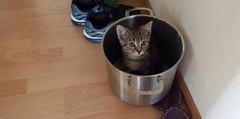 Herr Rossi in the pot     (rocknrolltheke) Tags: pet animal cat weird crazy kitten funny verrckt pot lustig topf katze haustier tier ktzchen schrg katzenbaby babykatze herrrossi