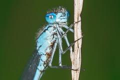 Damsel fly (Shane Jones) Tags: macro insect mac nikon damselfly mites damsel compoundeye macrolicious tamron180mmmacro macrophotosnolimits macromarvels macrolife pk3extensiontube d7200 pk3x2