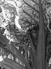 Chard (teresue) Tags: 2011 wa washington chard blackandwhite bw blackwhite picmonkey vegetable