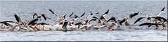 American White Pelicans (Catsbow) Tags: americanwhitepelican pelican whitepelican northwestwashington washington