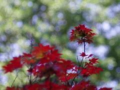 Bloodgood Acer palmatum (bamboosage) Tags: 45 m42 100 preset isconar iscogottingen