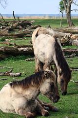 Oostvaardersplassen (natas0320) Tags: horses horse holland nature nederland thenetherlands natuur wildhorses lelystad takingpictures takingphotos oostvaardersplassen