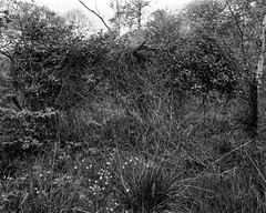 A beast emerges - Mistletoe invested Hawthorne (Hyons Wood) (Jonathan Carr) Tags: bw white abstract black tree rural landscape mistletoe 4x5 abstraction hawthorne northeast largeformat 5x4 hyonswood