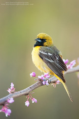Orchard Oriole (www.matthansenphotography.com) Tags: flowers color bird nature animal sunrise pose spring dynamic vibrant wildlife perch avian budding redbud songbird oriole orchardoriole bodyangles matthansenphotography