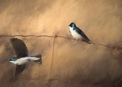 Tree Swallows   Hirondelles bicolores (Chizuka2010) Tags: topazimpression fineart birds swallows hirondelles hirondellesbicolores bif birdinflight impression fence fencefriday hff spring printemps chizuka2010 luciegagnon
