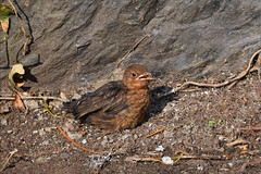 Young Blackbird chic (pwllgwyngyll) Tags: baby black bird birds animal outdoor wildlife feathers british chic blackbirds chics beaks gardenbirds llanfairpwll youngchics