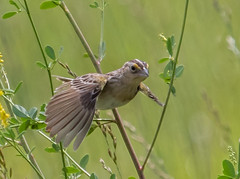 "Grasshopper Sparrow (kevinm66 (aka ""The Bird Whisperer"")) Tags: ngc"