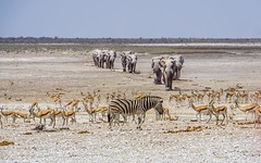 DSC00509-20150924 (C&P_Pics) Tags: na zebra waterhole namibia springbok africanelephant burchellszebra etoshanationalpark oshikoto halalicamptookaukuejocamp