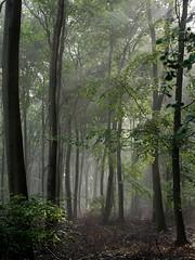 Mist in June (yvonnepay615) Tags: uk trees mist nature woodland lumix norfolk panasonic eastanglia swaffham gh4