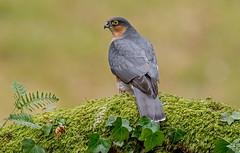 JWL8927  Sparrowhawk.. (jefflack Wildlife&Nature) Tags: nature birds countryside woodlands hawk wildlife raptors avian birdsofprey sparrowhawk hawks heathland gardenbirds wildbirds hedgerows