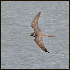 Hobby (Full Moon Images) Tags: bird nature flying wildlife bcn flight reserve national trust prey fen cambridgeshire birdofprey woodwalton nnr greatfen