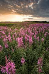 Fireweed and Sunset (adamhillstudios) Tags: pink sunset wild flower green nature river hay northwestterritories fireweed