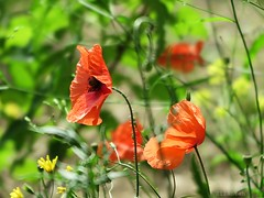 Windy poppies (nathaliedunaigre) Tags: flowers red summer nature fleurs rouge windy poppies wildflowers t coquelicots vent