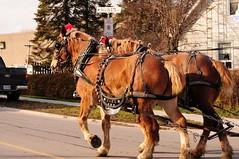 draft_horses_4607a (Mike Mills Tweed) Tags: horses ontario miniature shetland tweed clydesdale caada
