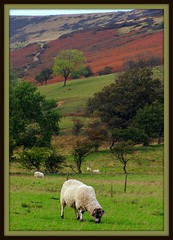 I Graze as I gaze (Dazzygidds) Tags: terrain sheep framed derbyshire calming serene bracken nationaltrust tranquil grazing woollen darkpeak woolly peakdistrictnationalpark moorland castleton winnatspass hopevalley layered peverilcastle