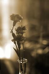 Flowers by the window (runslikethewind83) Tags: life flowers light stilllife flower reflection window beautiful beauty japan closeup sepia 50mm cafe still close pentax january reflect vase  yokohama  kanagawa 2012