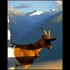 striped goat (dellafels) Tags: mountain alps austria goat hohetauern dellafelspic grosswenediger blinkagain