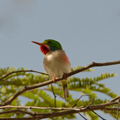 Cuban Todd (Lynn McFulton) Tags: sunshine birding colourful loud 3652012 2010yip cubantodd