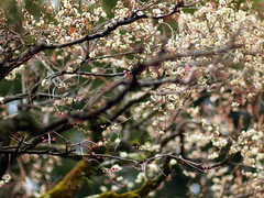 Ume branches (©Marie Eve K.A.❦ (away..)) Tags: winter blur flower tree nature japan spring kyoto branch dof bokeh f14 85mm teaceremony annual olympuspen ume planar ep2 nodate plumblossoms baikasai carlzeiss feb25 kitanotenmangushrine whiteplum february25th whiteplumblossoms outdoorteaparty plumblossomsfestival plumflowersfestival
