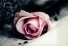 Longing (Aspiriini) Tags: winter snow flower ice graveyard rose dof ruusu jonilehto aspiriini