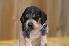 Kinda Cute! (RLMSR) Tags: beagle puppy sonykitlens rlmsr