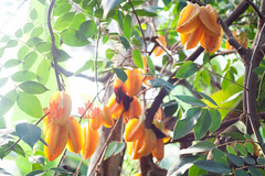 Carambolos. (mexicois) Tags: winter naturaleza plant canada nature butterfly plantas montral natural hiver nieve butterflies free papillon libert qubec invierno neige biodome mariposas neiges libres insectarium insectario biodomo viaumetro