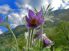 "anemone (perplesso42) Tags: flowers slovenia anemone fiori montagna icapture bovec zabrajda plezzo 100commentgroup ""flickraward"" anemonepulsantilla"