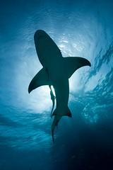 Lemon Shark (scott1e2310) Tags: ocean dolphins sharks february bahamas reef 2012 underwaterphotography tigersharks scottportelli