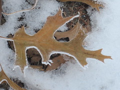 Single Leaf (Pictures by Ann) Tags: winter brown white snow detail nature beautiful beauty leaves minnesota leaf oak pretty frost details frosty things sharp edge simplicity trim simple frosted pointed edges covering coating