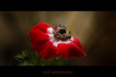 red anemone (maar73) Tags: flowers winter red flower macro nature photo flora sony natuur anemone rood bloemen 2012 blooming bloem februari anemoon seizoen pictures seasson mygearandme maar73 sonyslt65