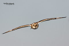 Short-eared Owl, Asio flammeus. (Nigel Blake, 2 million views Thankyou!) Tags: bird nature birds canon photography post wildlife hunting flight short owl perched blake nigel ornithology fens cambridgeshire eared asio strigiformes shorteared flammeus sumpfohreule hiboudesmarais grassowl jorduggla velduil asioninae mosehornugle cataface shorthornedhootlet gufodipaludebhocampestre