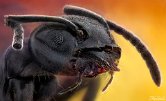 THE BLACK WARRIOR - ANT - Lasius fuliginosus (Fardels.) Tags: nikon ant stack bellows hormiga 10x zerene lasius apilado fuliginosus