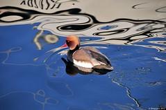 Nette rousse (Diegojack) Tags: eau lac oiseaux canards netterousse