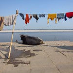 "Cow with Laundry and Ganges <a style=""margin-left:10px; font-size:0.8em;"" href=""http://www.flickr.com/photos/14315427@N00/6880388429/"" target=""_blank"">@flickr</a>"