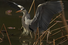 I AM BIRD (jcowboy) Tags: bird heron nature birds animal animals japan asia wildlife aichi grayheron herons obu 2011 specanimal may2011 birdperfect hoshinaike