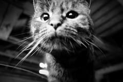 *Miouw* (feldweg) Tags: miau miez blackwhitephotos miouw barttiger