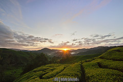 APPEAR (HeSoMe CollectionS) Tags: sunrise sony alpha slt boh a77 teaestate cameronhighland sgpalas hesome